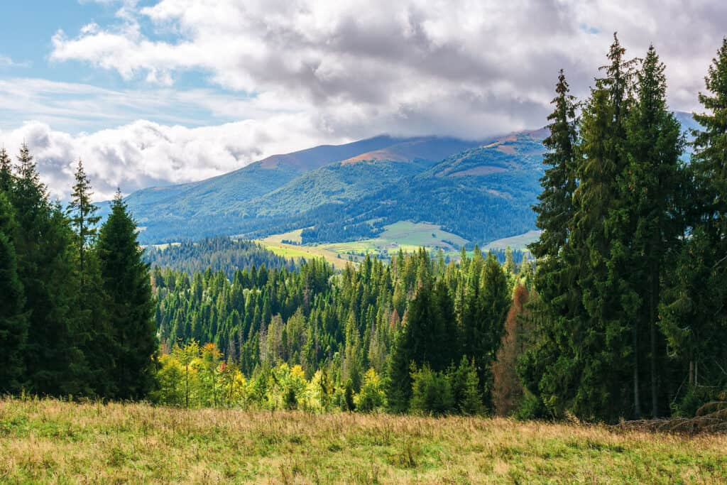 coniferous forest on the grassy hill in mountains